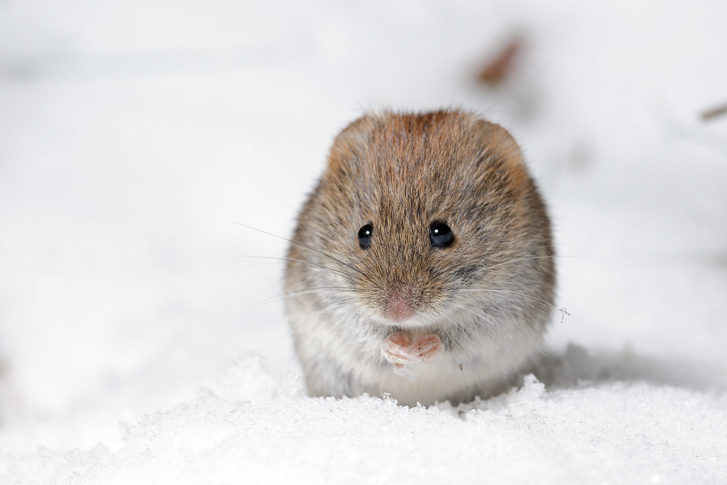 Как защитить деревья от мышей зимой