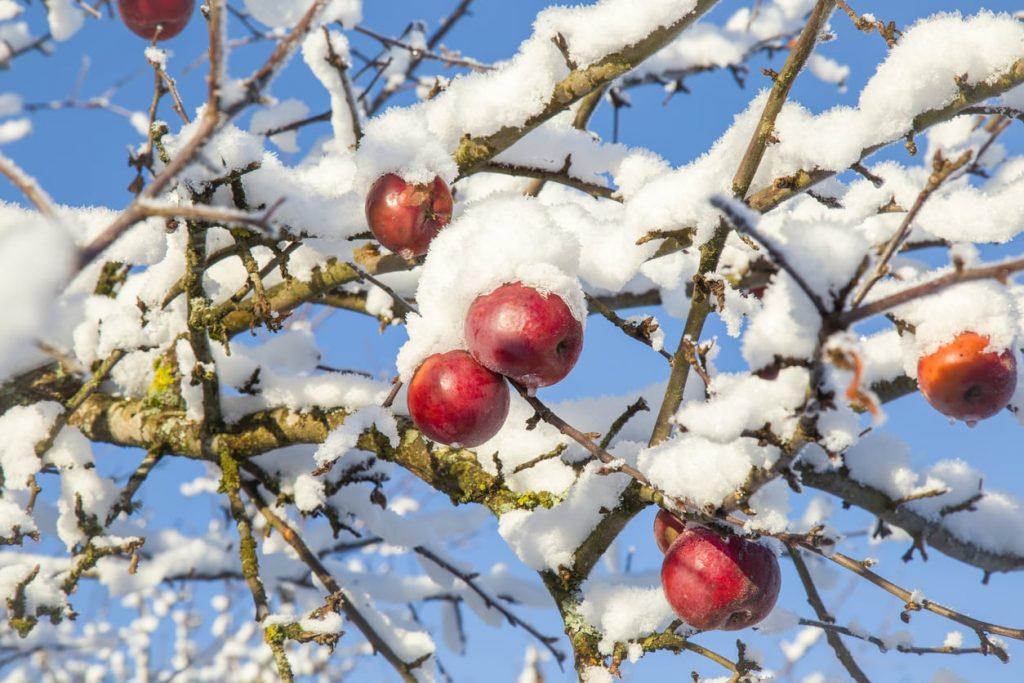Как защитить молодые яблони от грызунов зимой