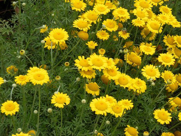 Цветок ромашка садовая