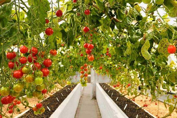 Безрассадный способ выращивания томатов в теплице