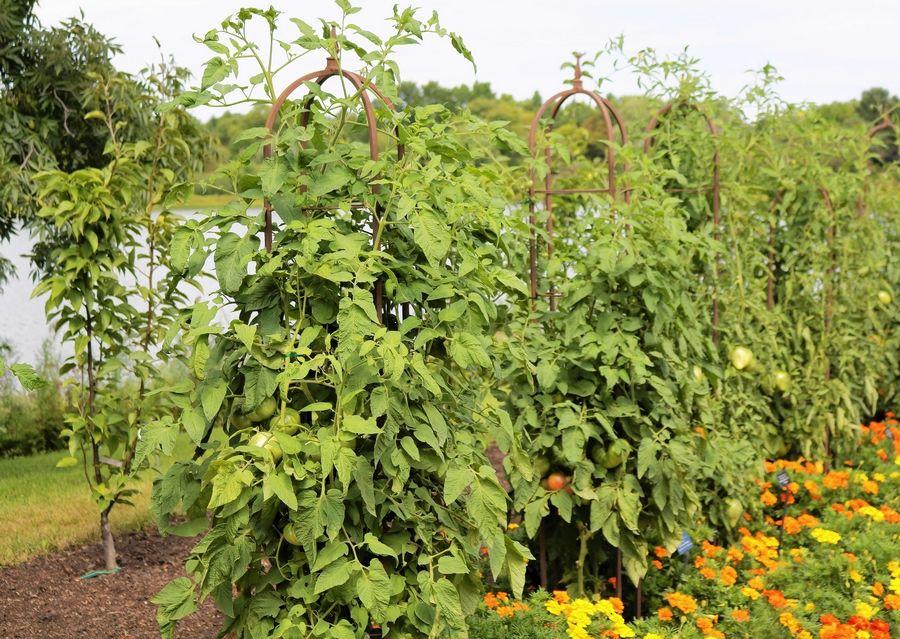 Безрассадный способ выращивания томатов в открытом грунте