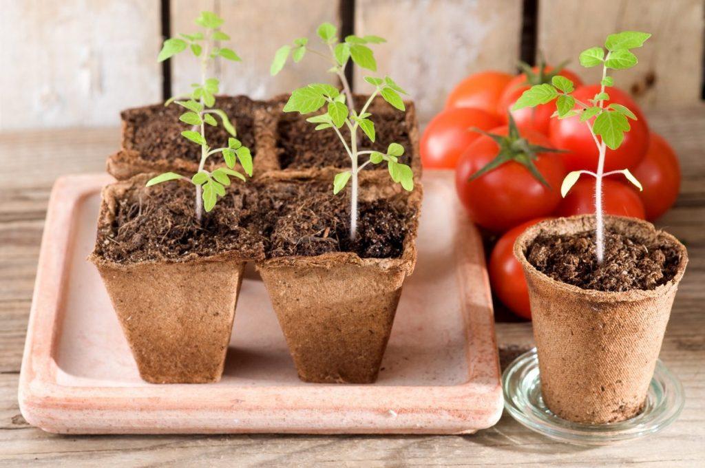 Болезни рассады томатов: фото и способы лечения