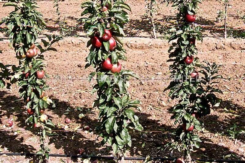 Колоновидные яблони сорта описание и фото