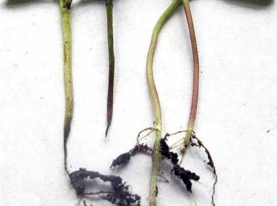 Чёрная ножка у рассады томатов: как лечить?