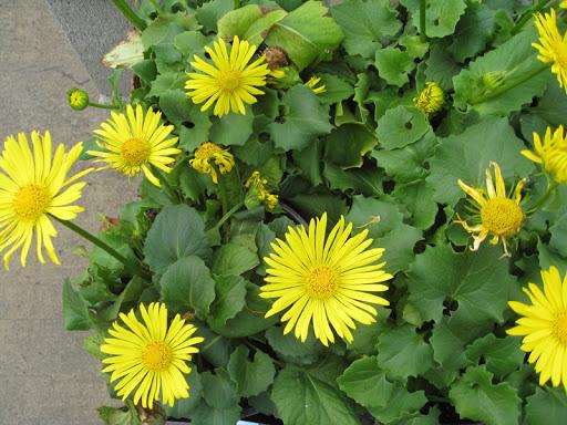 Ромашка желтая садовая