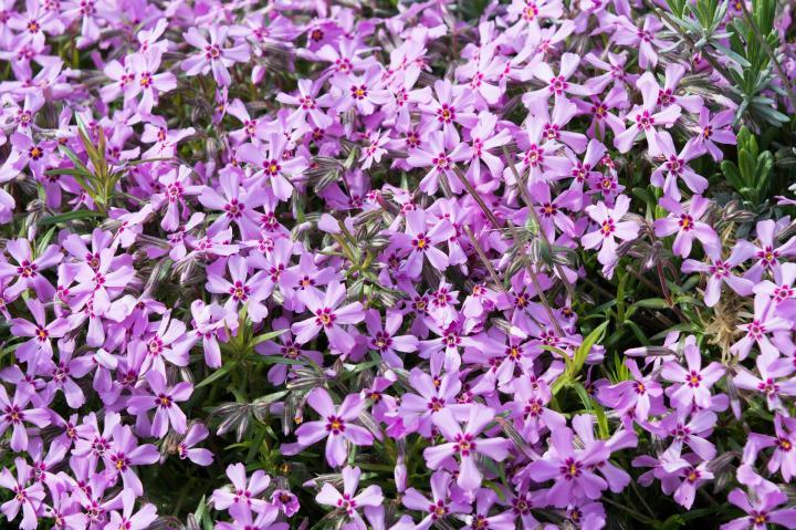 Цветы флоксы однолетние