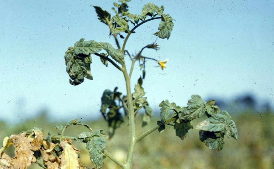 Фузариоз томатов фото описание и лечение