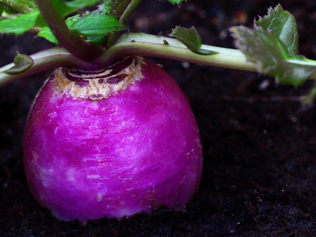 Урожайные сорта редиса