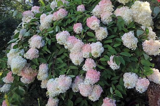 Гортензия метельчатая Грандифлора фото
