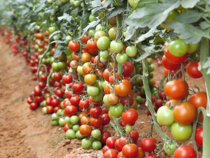 Индетерминантные сорта томатов для теплиц