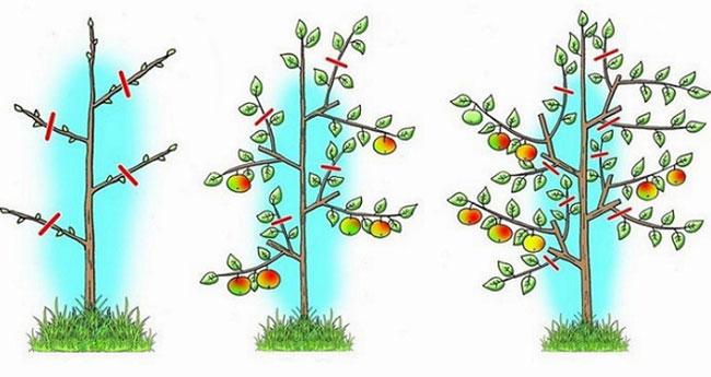 Обрезка колоновидных яблонь схема