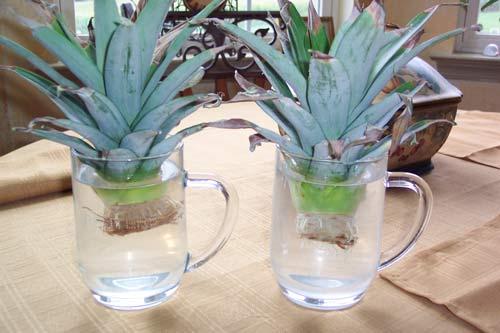 Можно ли вырастить ананас в домашних условиях