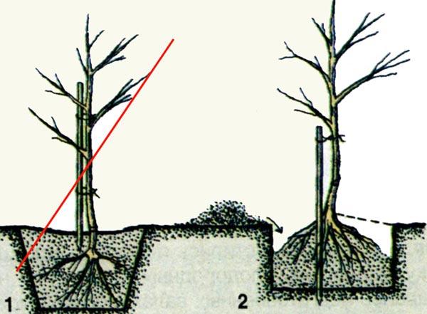 Как правильно посадить колоновидные яблони весной