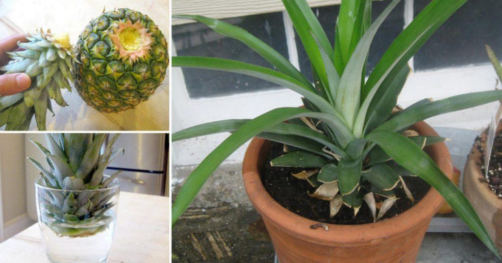 Как вырастить ананас фото
