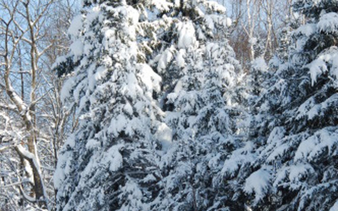 Нужно ли укрывать голубую ель на зиму