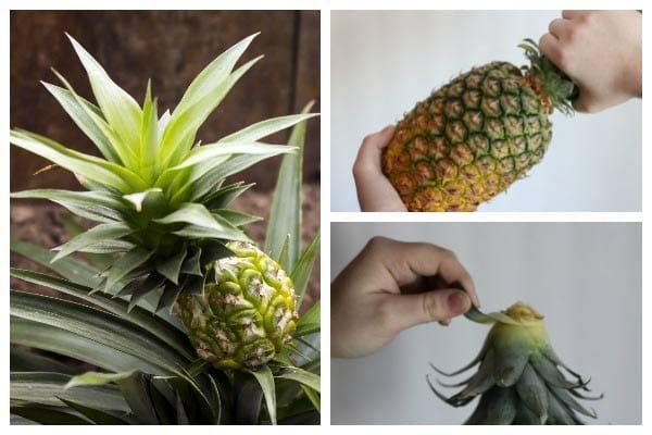 Как вырастить ананас из верхушки фото