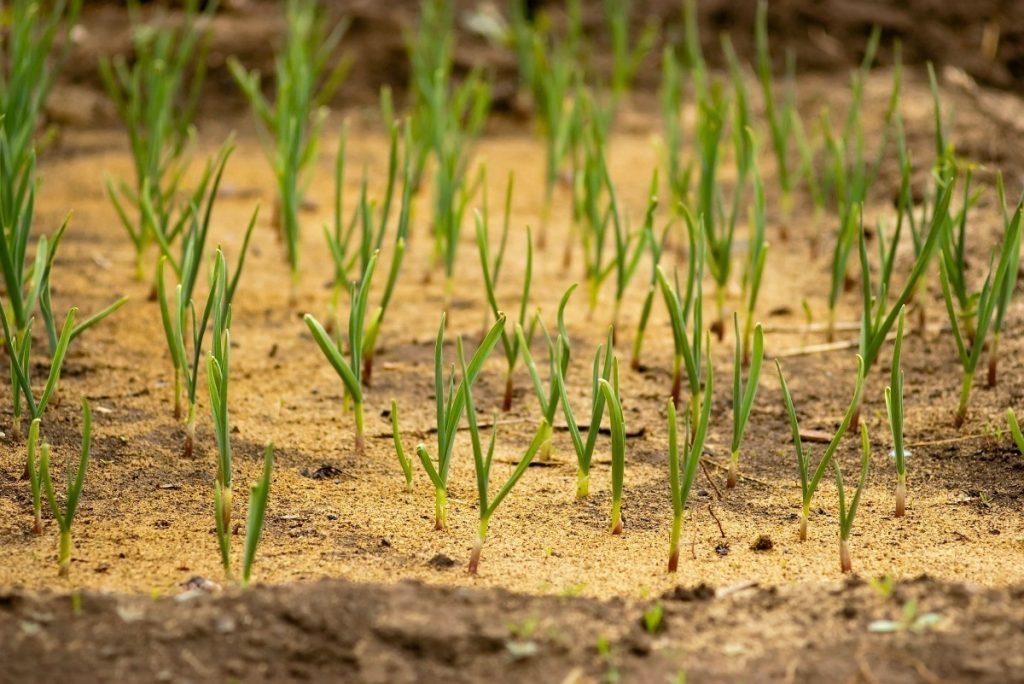 Как выращивать зеленый лук из луковицы