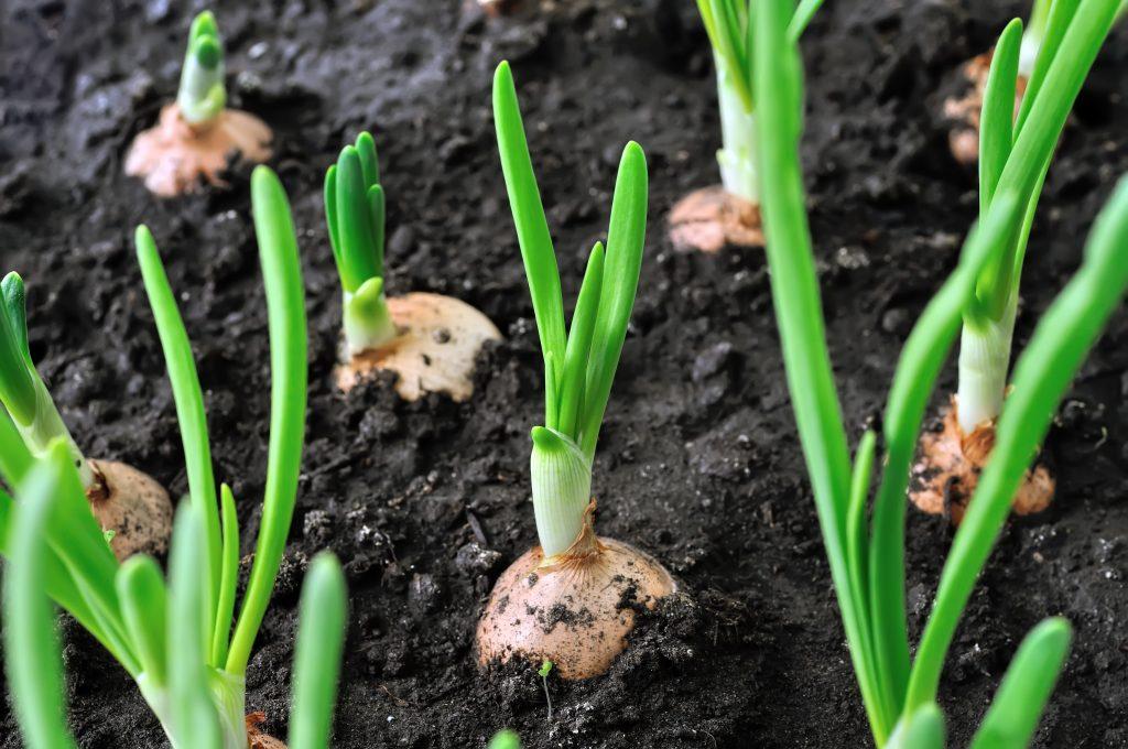 Как выращивать зеленый лук в квартире