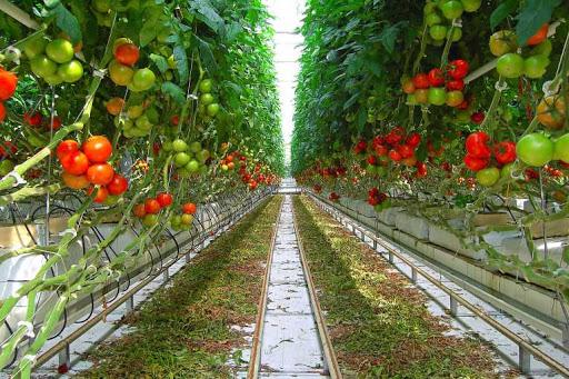 Китайский способ выращивания томатов в теплице