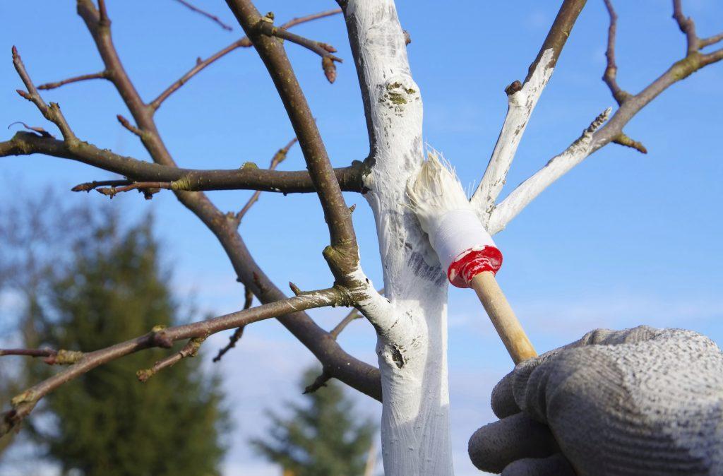 Побелка фруктовых деревьев осенью