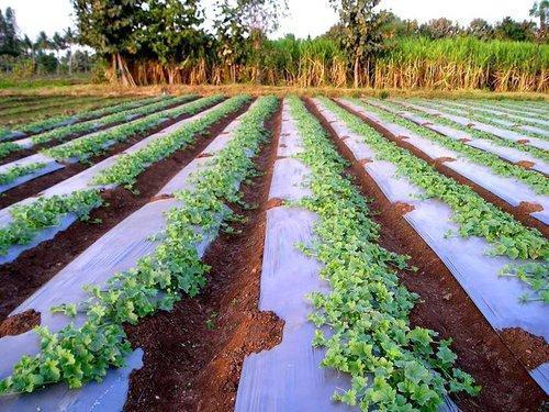 Редис на продажу выращивание