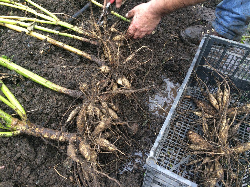 Как хранить корни георгинов зимой
