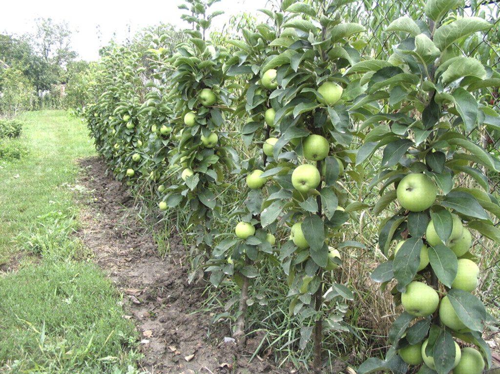 Колоновидные яблони хорошие сорта