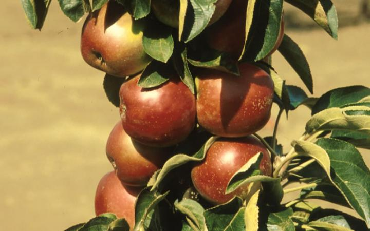Яблоня сорт летние сладкое