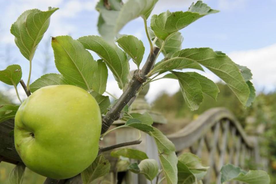 Летние сорта яблонь для подмосковья с фото