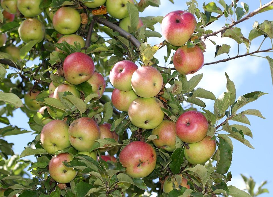 Ранние летние сорта яблонь