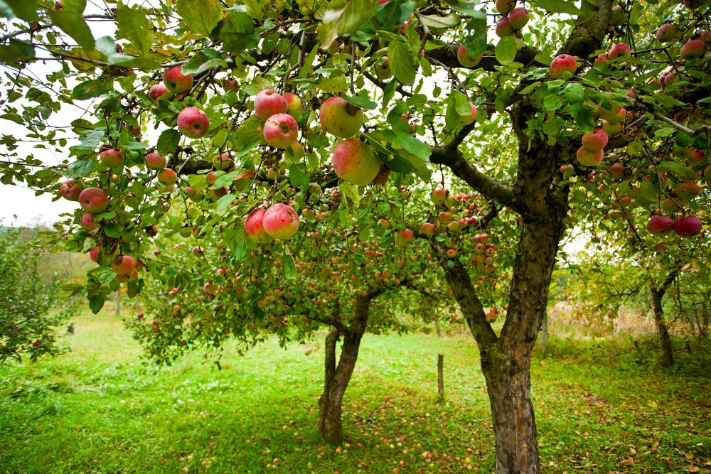 Лучшие летние сорта яблонь для Средней полосы Росии