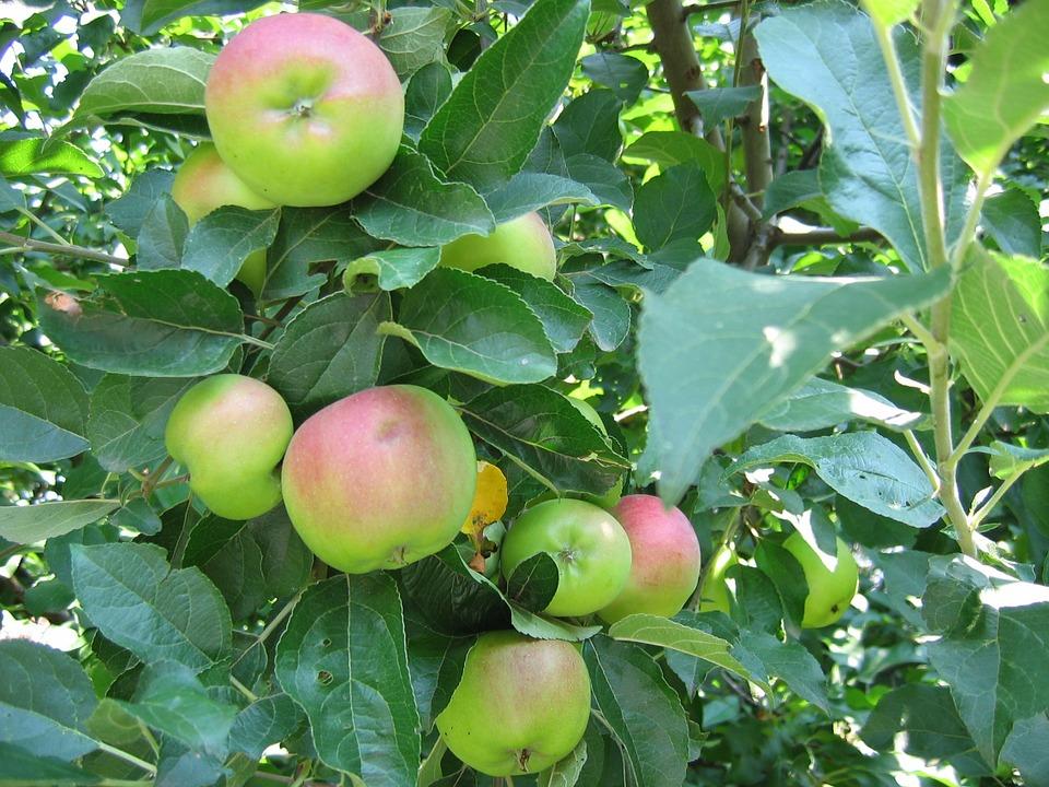 Летние сорта яблонь фото