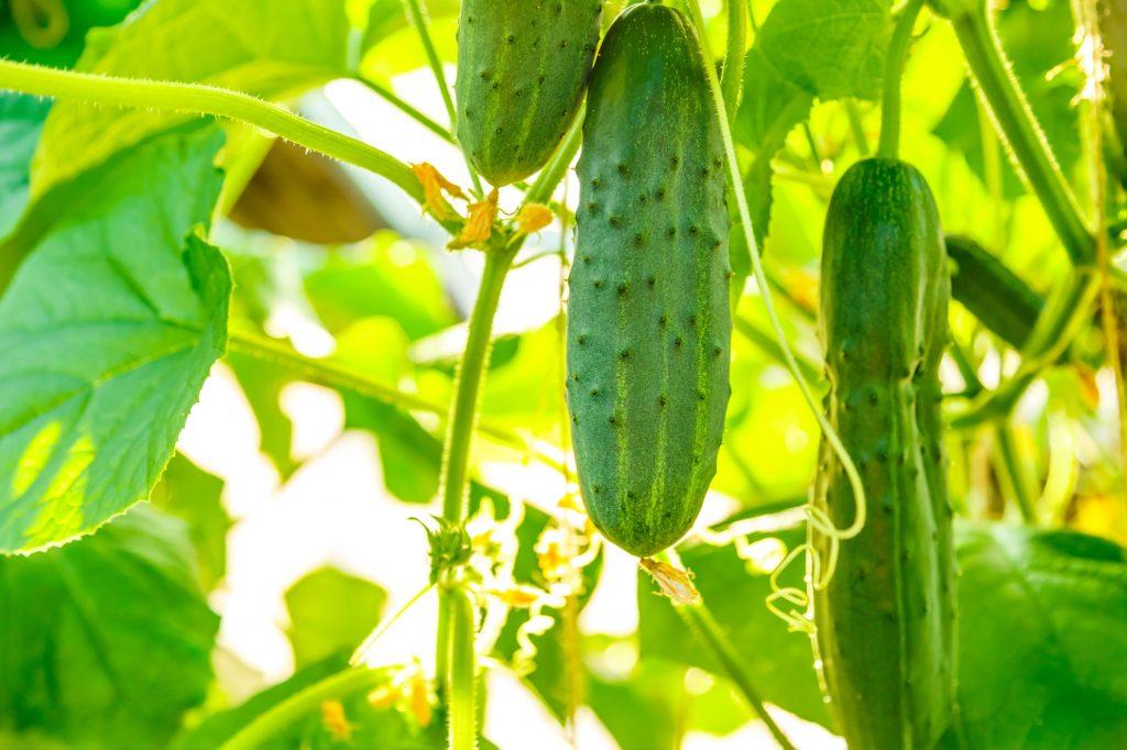 Сорта огурцов для теплицы самоопыляемые