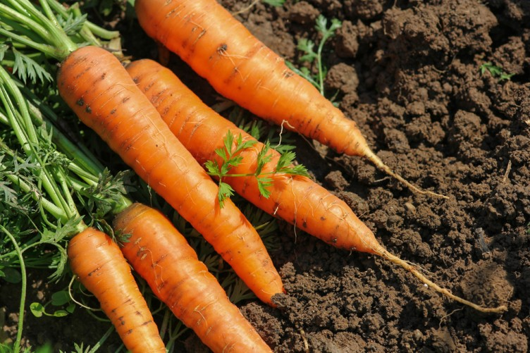 Сорта моркови для Подмосковья для открытого грунта