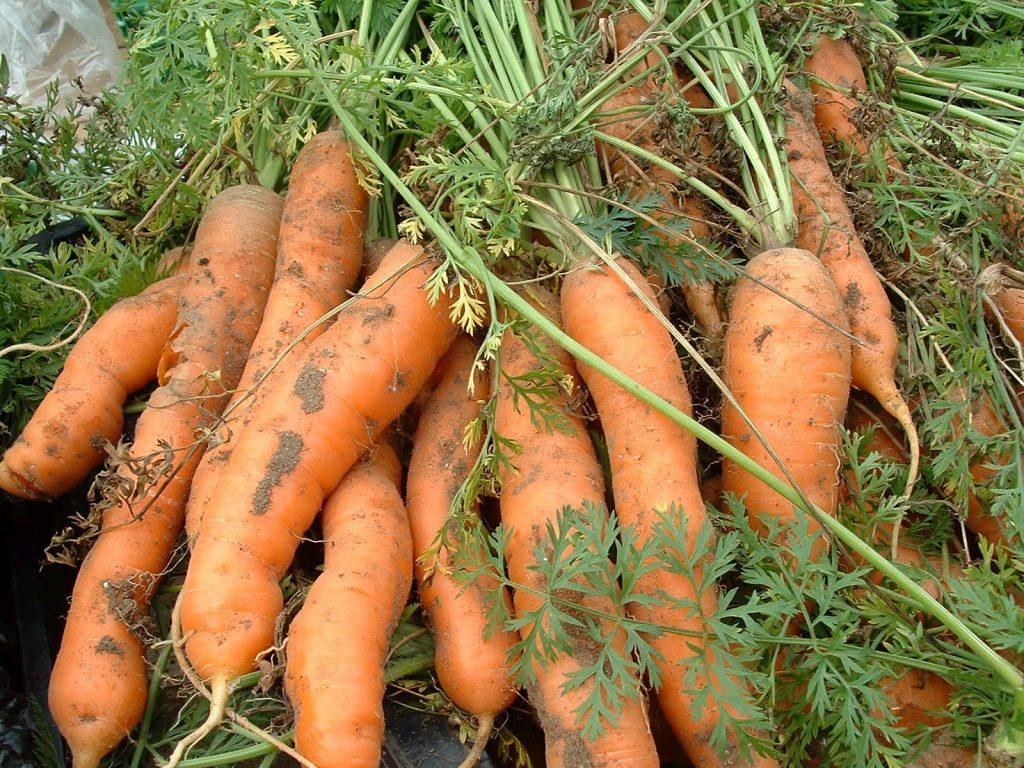 Лучшие сорта моркови для Урала на хранение
