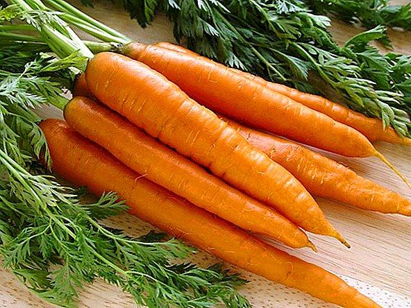 Лучшие сорта моркови для Украины