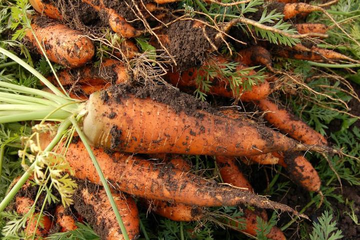 Семена моркови лучшие сорта для открытого грунта