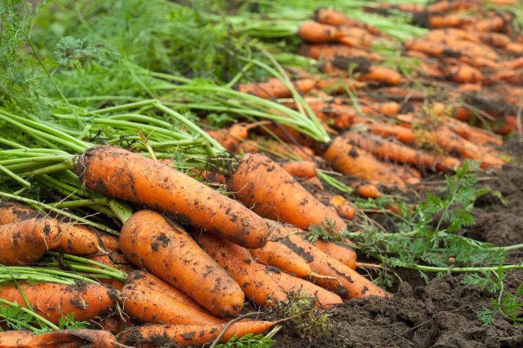 Сорта моркови для выращивания в средней полосе России