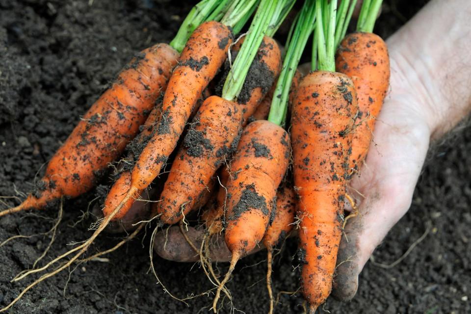 Морковь семена лучшие сорта
