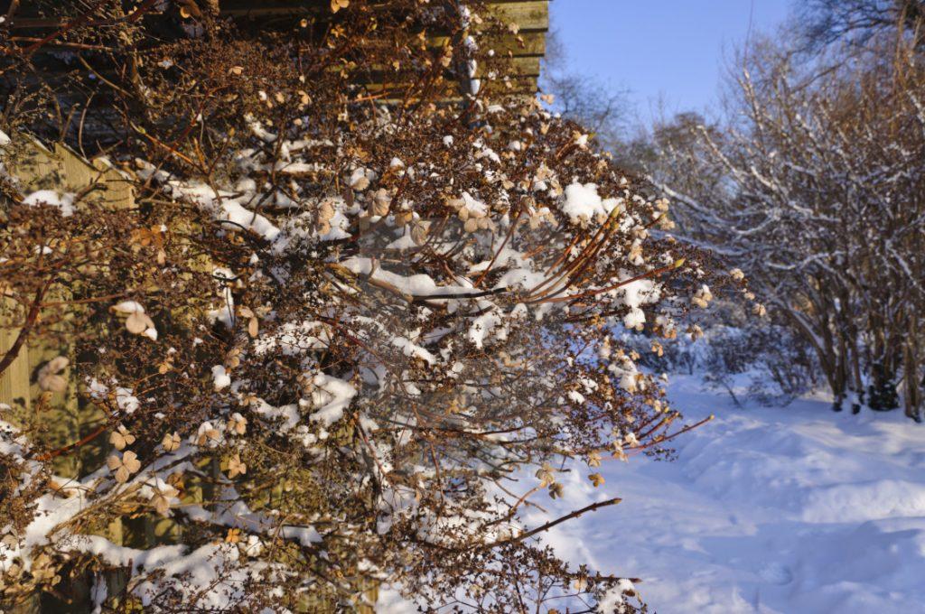 Нужно ли укрывать гортензию на зиму?