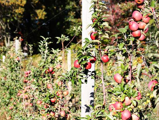 Осенние сорта яблонь описание