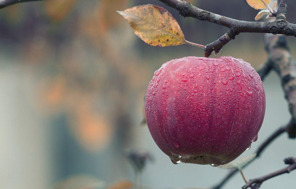 Лучший осенний сорт яблони для Подмосковья