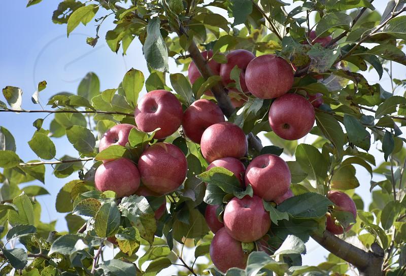 Лучшие сорта осенних яблонь для средней полосы