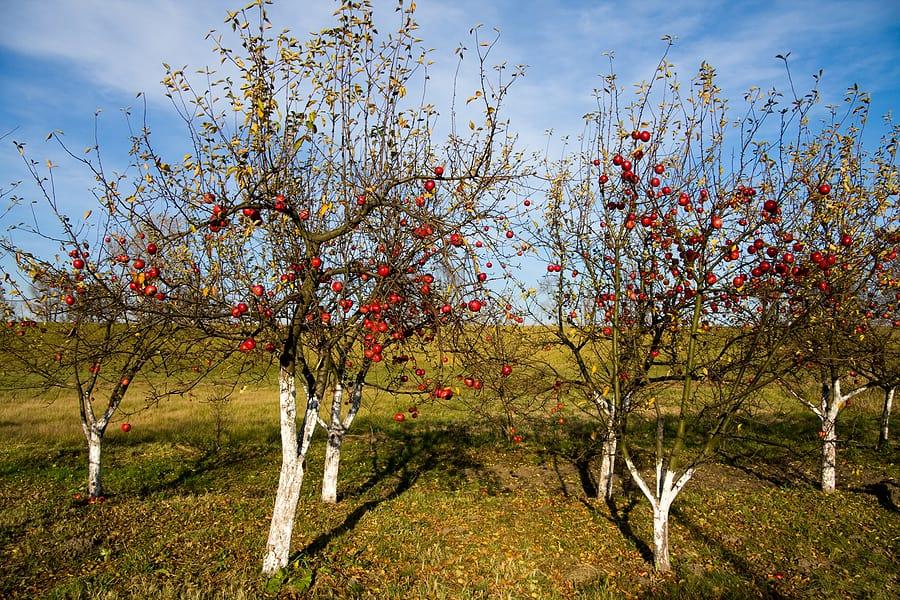 Сладкие осенние сорта яблонь