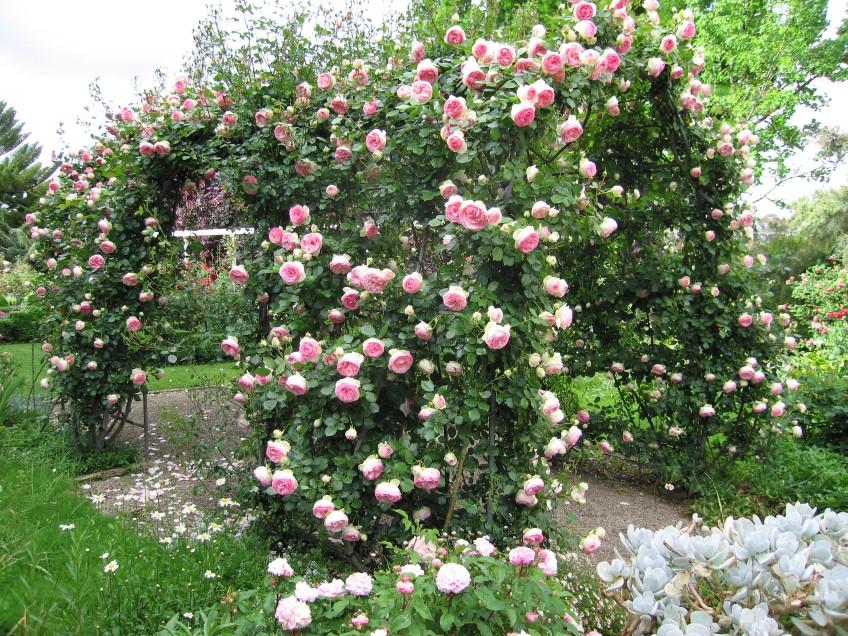 Плетистая роза фото и описание