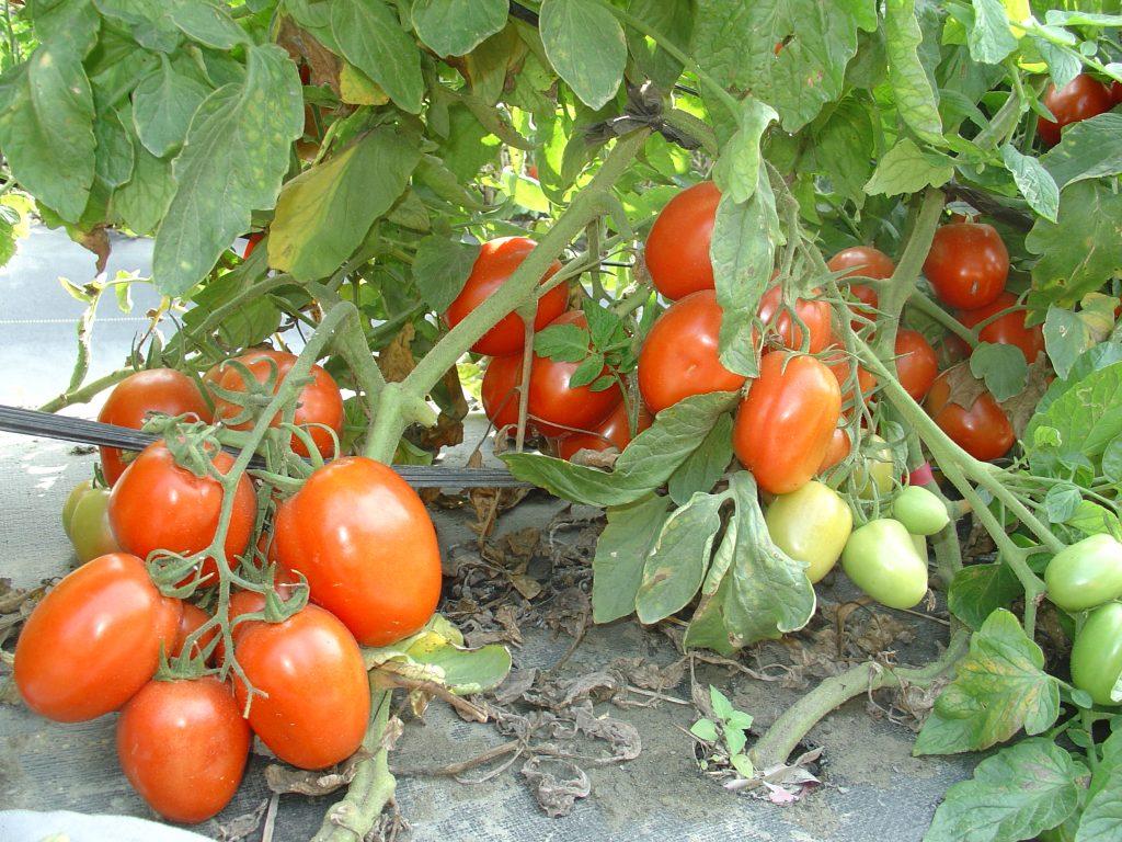 Полудетерминантные сорта томатов для теплиц с фото