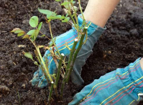 Посадка плетистой розы весной в открытый грунт