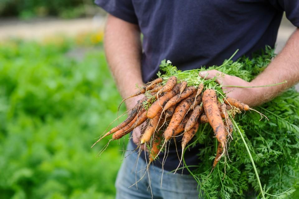 Морковь посадка весной сроки посадки