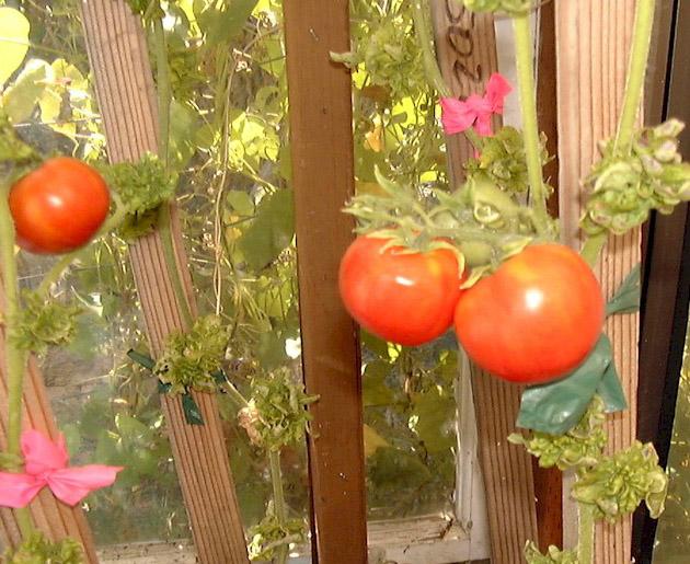 Стрик на томатах: фото
