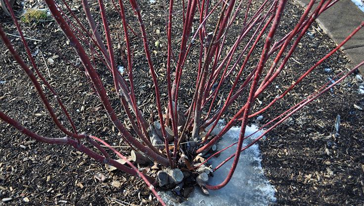 Уход за гортензией осенью и подготовка к зиме
